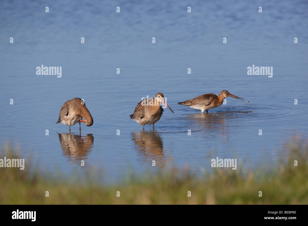 Black-tailed Godwits Limosa limosa feeding in creek in late summer - Stock Image