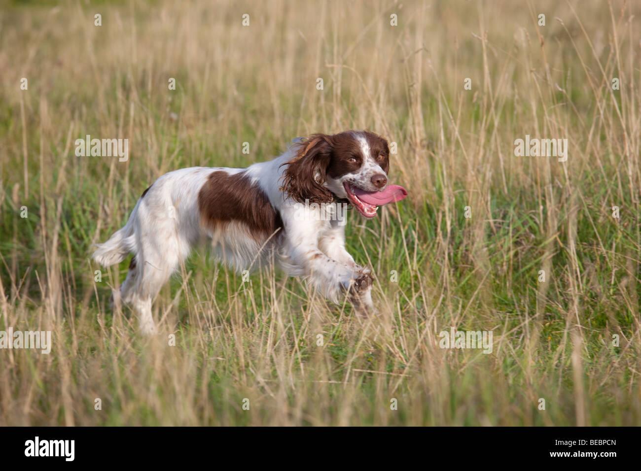 A breathless English Springer Spaniel running through grass - Stock Image