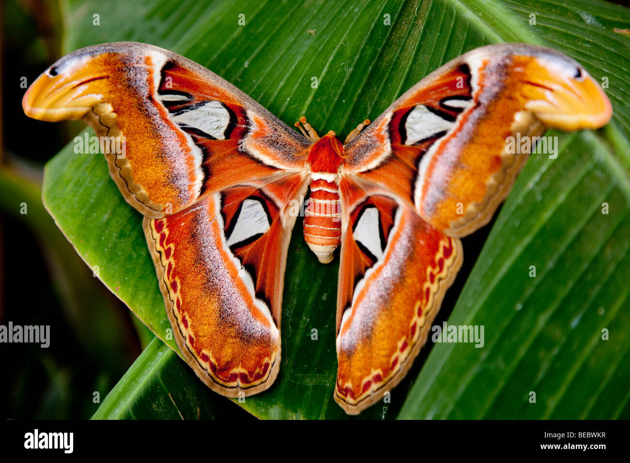 Atlas Moth (Attacus atlas), the world's largest moth - Stock Image