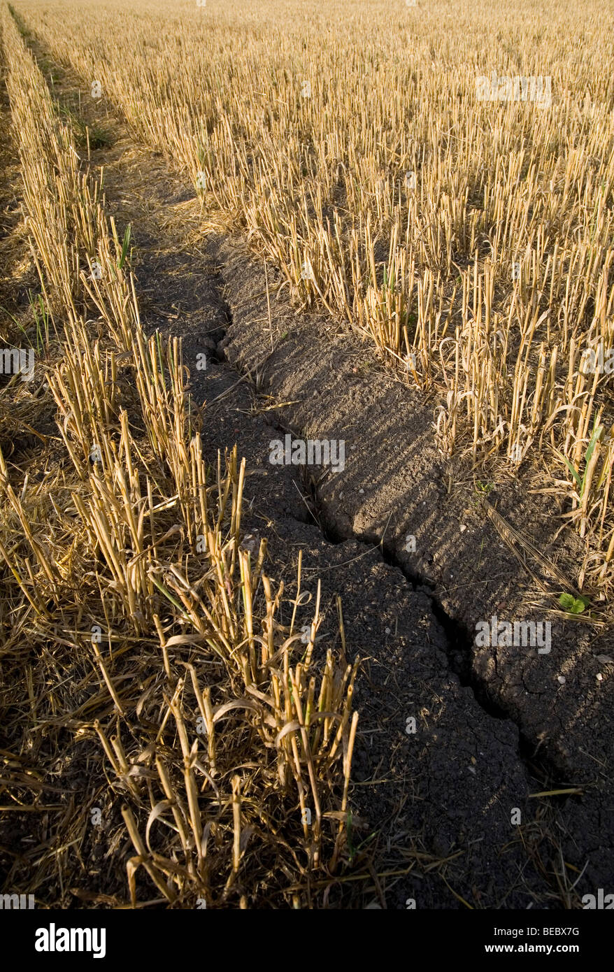 A harvested wheat corn field in Tring showing dried cracked earth Stock Photo