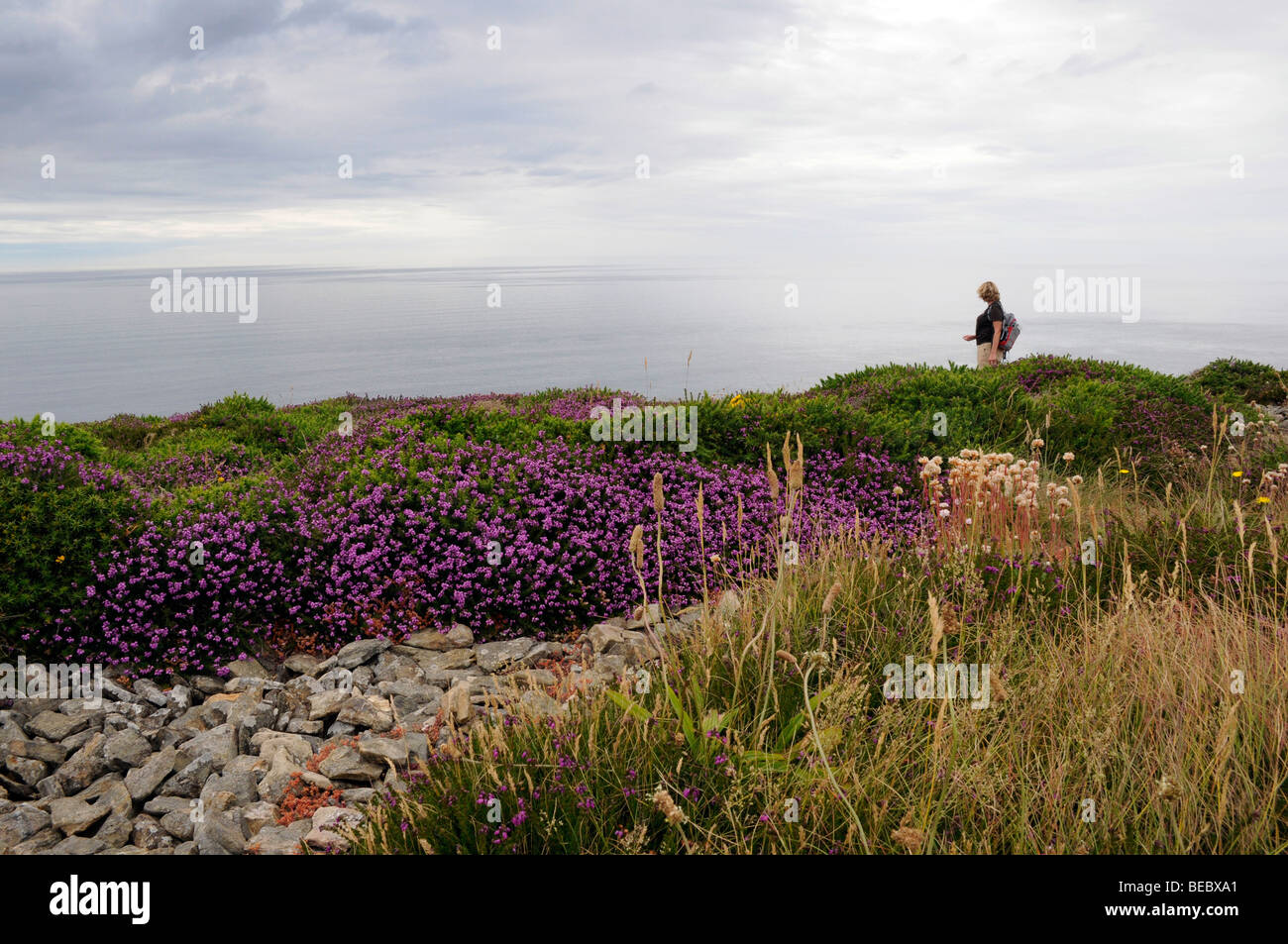 Female walker strides along the Cornish coastal path amongst the flora and heather towards St Agnes, Cornwall. - Stock Image