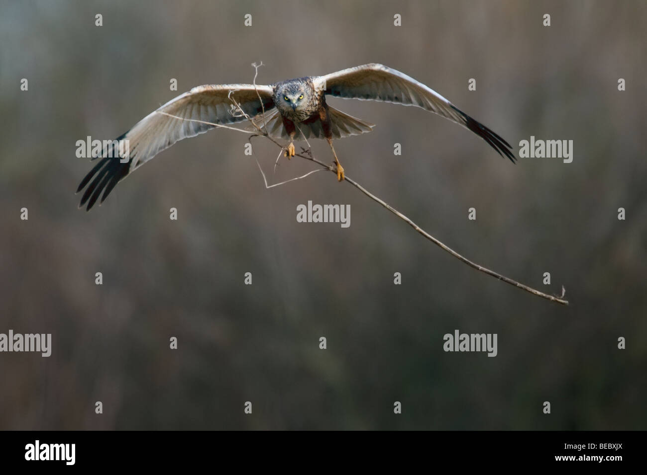 Marsh Harrier in flight carrying a huge stick Stock Photo