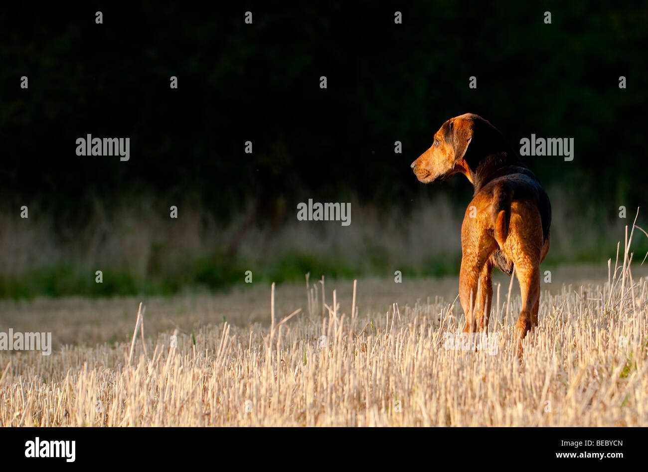 A Cottesmore Hunt fox hound in the setting sun. - Stock Image
