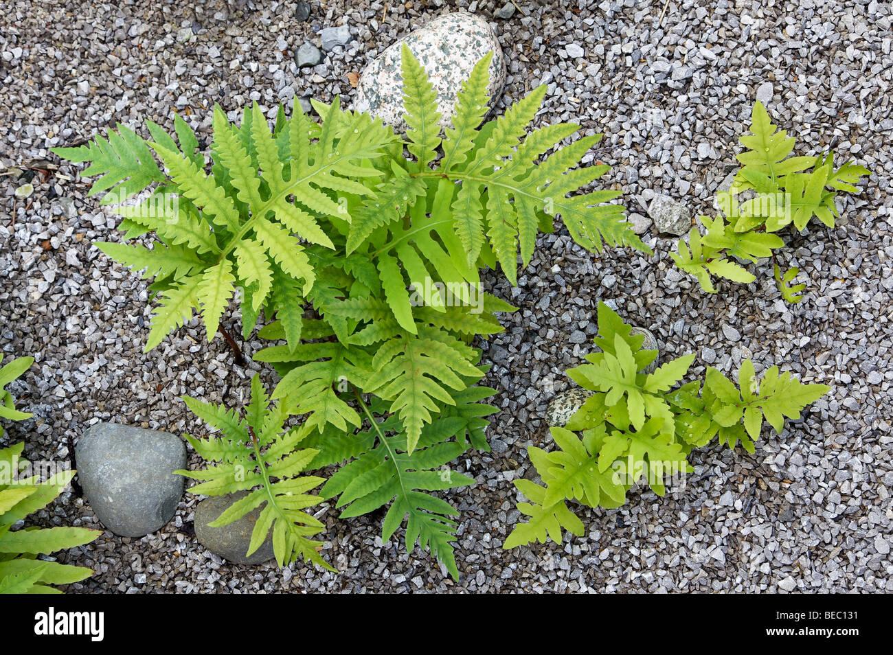 Sensitive Fern, Onoclea sensibilis - Stock Image