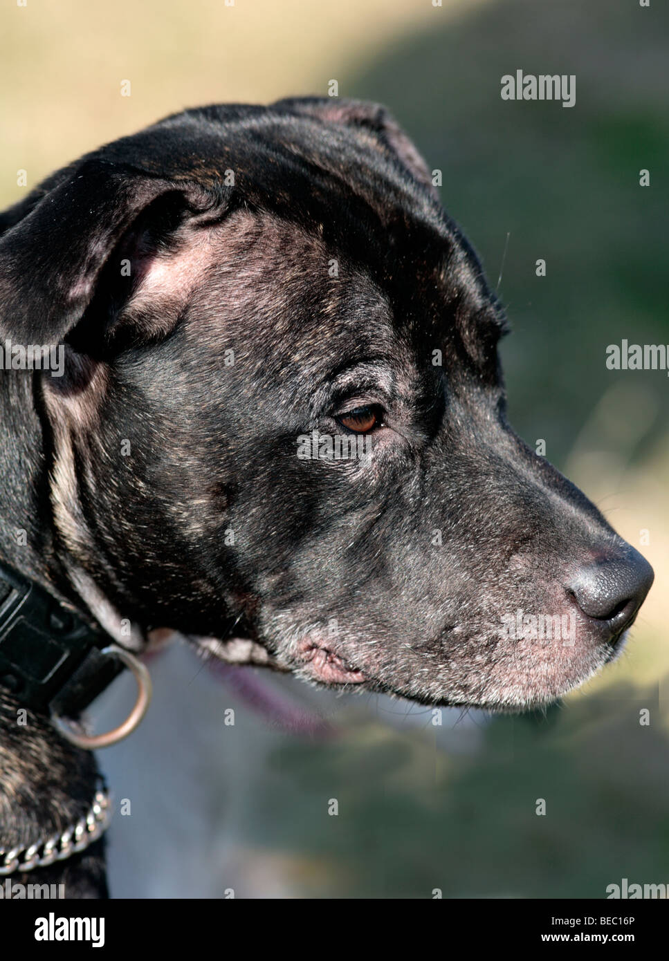 Face of a Pit bull dog - Stock Image