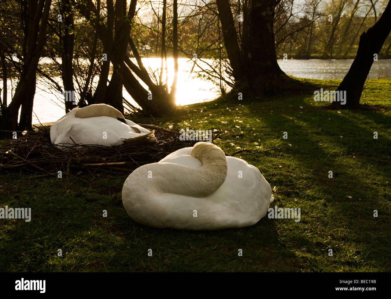 The Sleeping Swans >> Swans Sleeping Stock Photos Swans Sleeping Stock Images Alamy