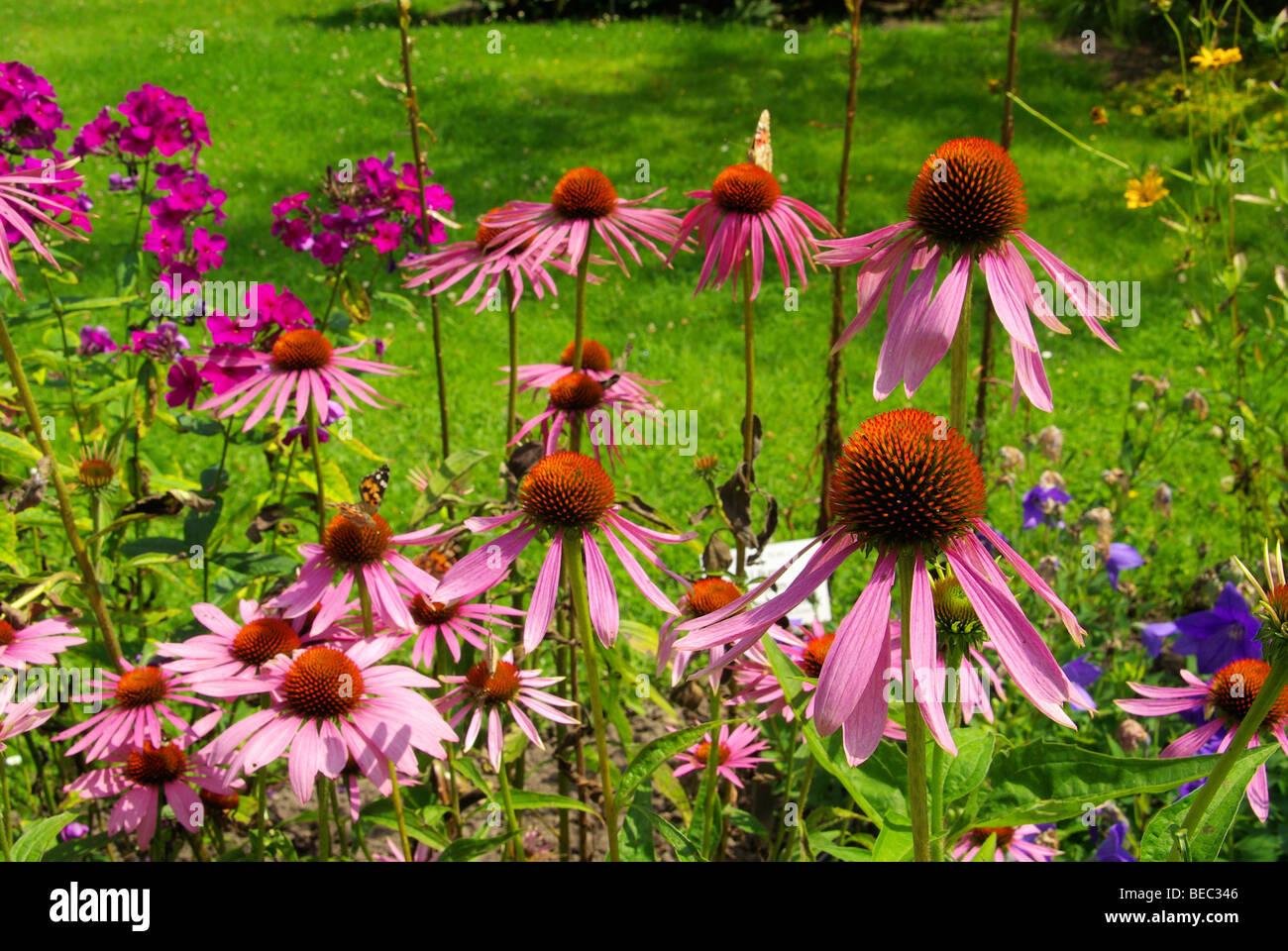 Sonnenhut Purpur - Purple Coneflower 30 - Stock Image