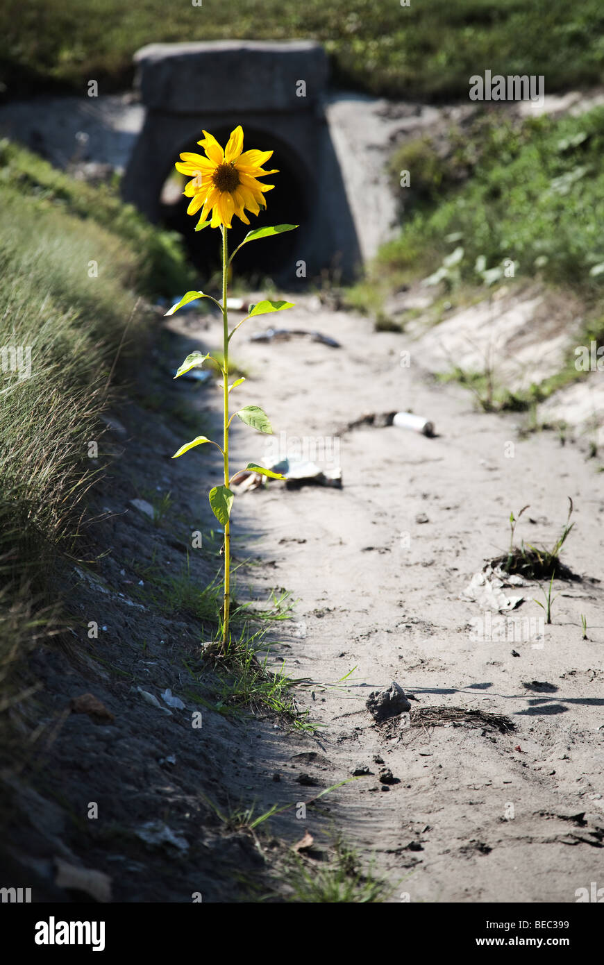 Lonely flower in a gutter with garbage and dirt. Desire for life concept. Stock Photo
