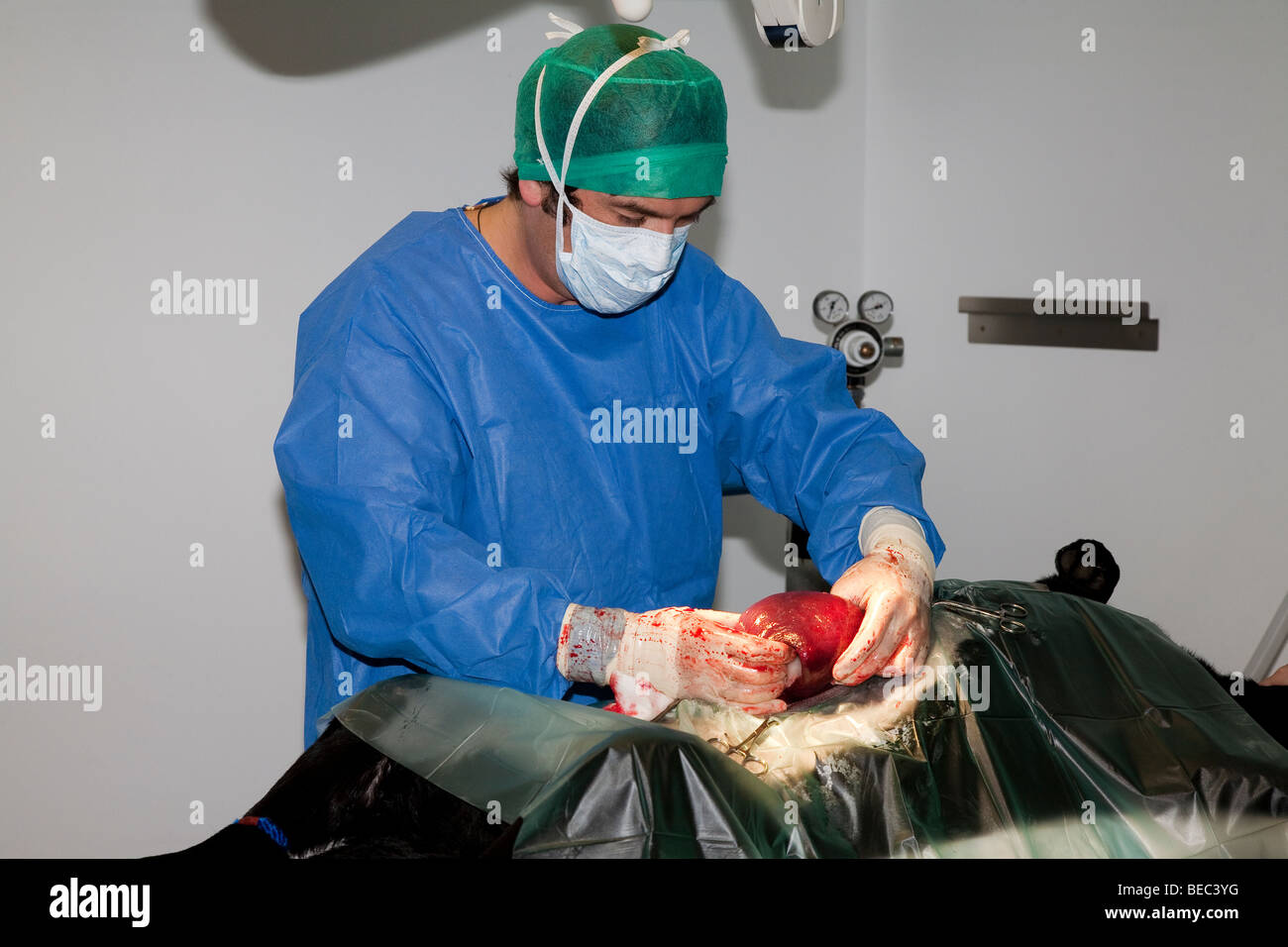 Veterinary Surgeon Operating on a Dog in Theatre - Stock Image