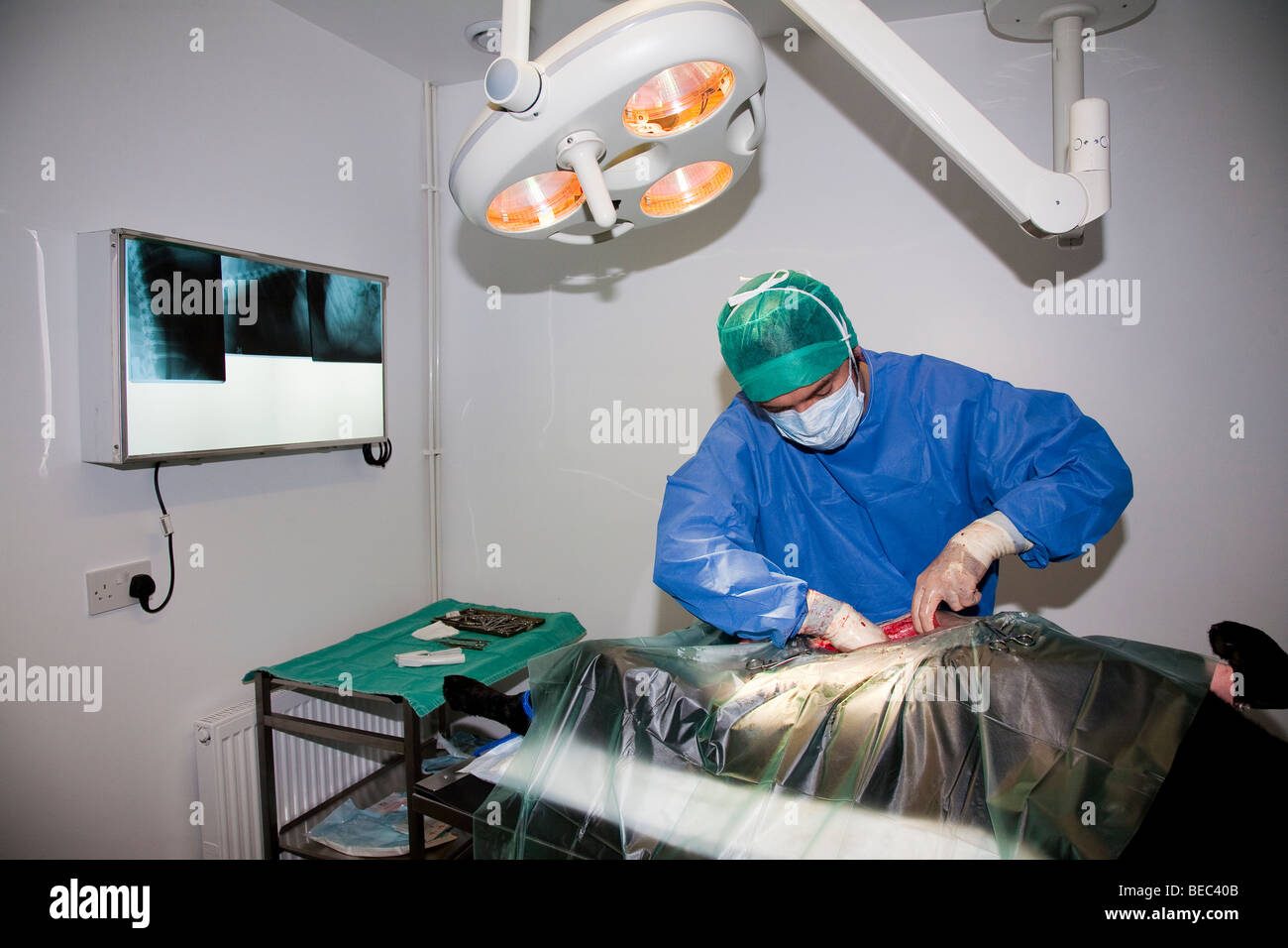 Veterinary Surgeon Operating on a Dog in Theatre Stock Photo