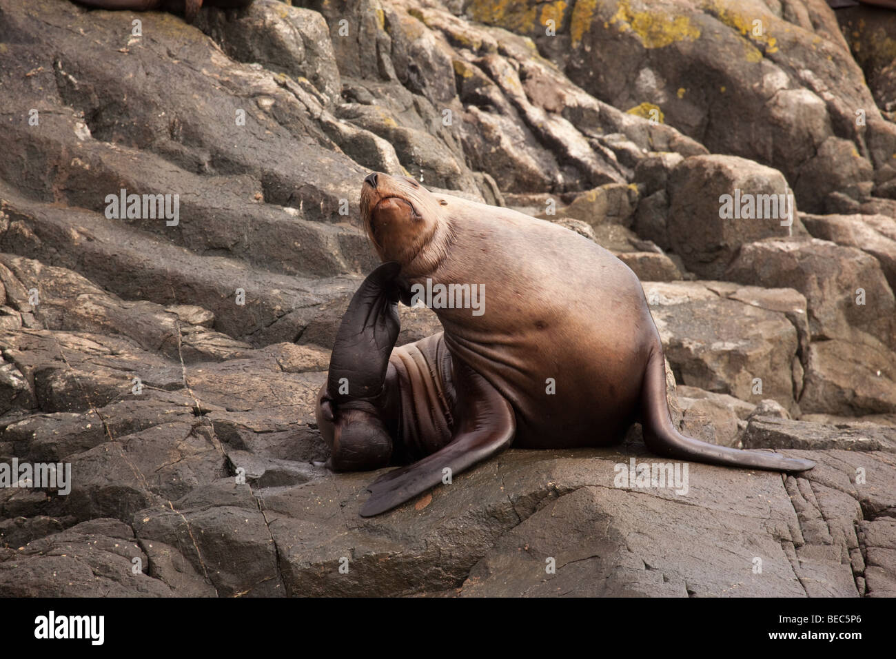 Stellar sea lion scratching its ear on a rock in Canada - Stock Image