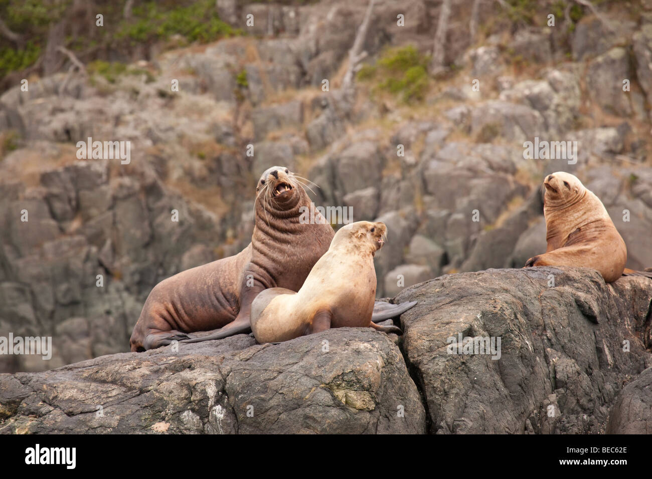 Stellar sea lions basking on a rock - Stock Image