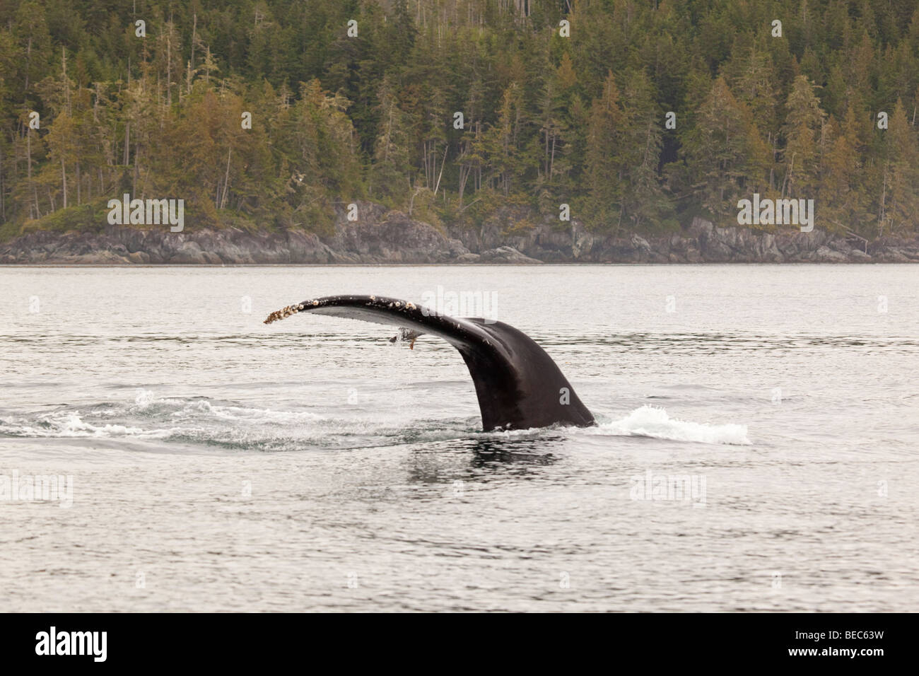 Tail fluke of a humpback whale in the Johnston Strait in pacific northwest Canada. - Stock Image