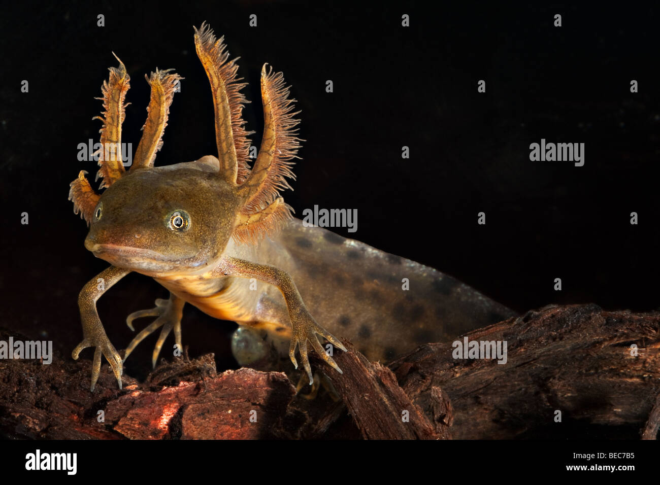 crested newt larva showing its gills - Stock Image