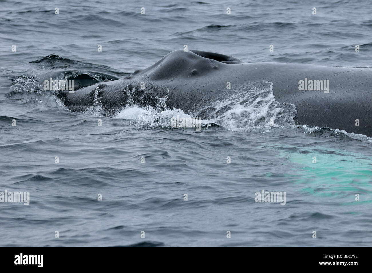 Close up of a female humpback whale blowhole rostrum and tubercles swimming in the Atlantic Ocean near Twillingate - Stock Image