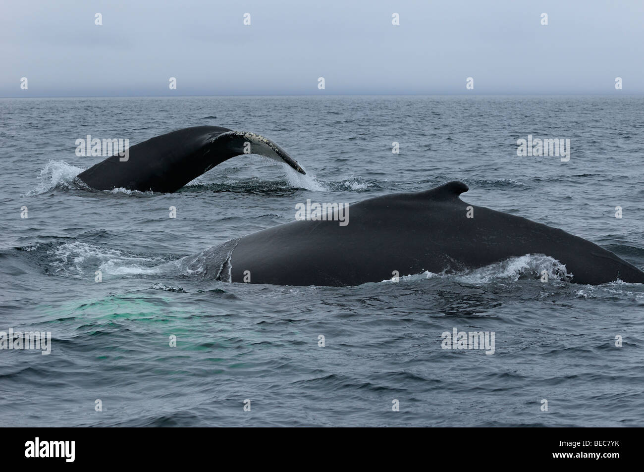 Close up of two female humpback whales traveling at Twillingate Newfoundland showing dorsal fin and tail - Stock Image