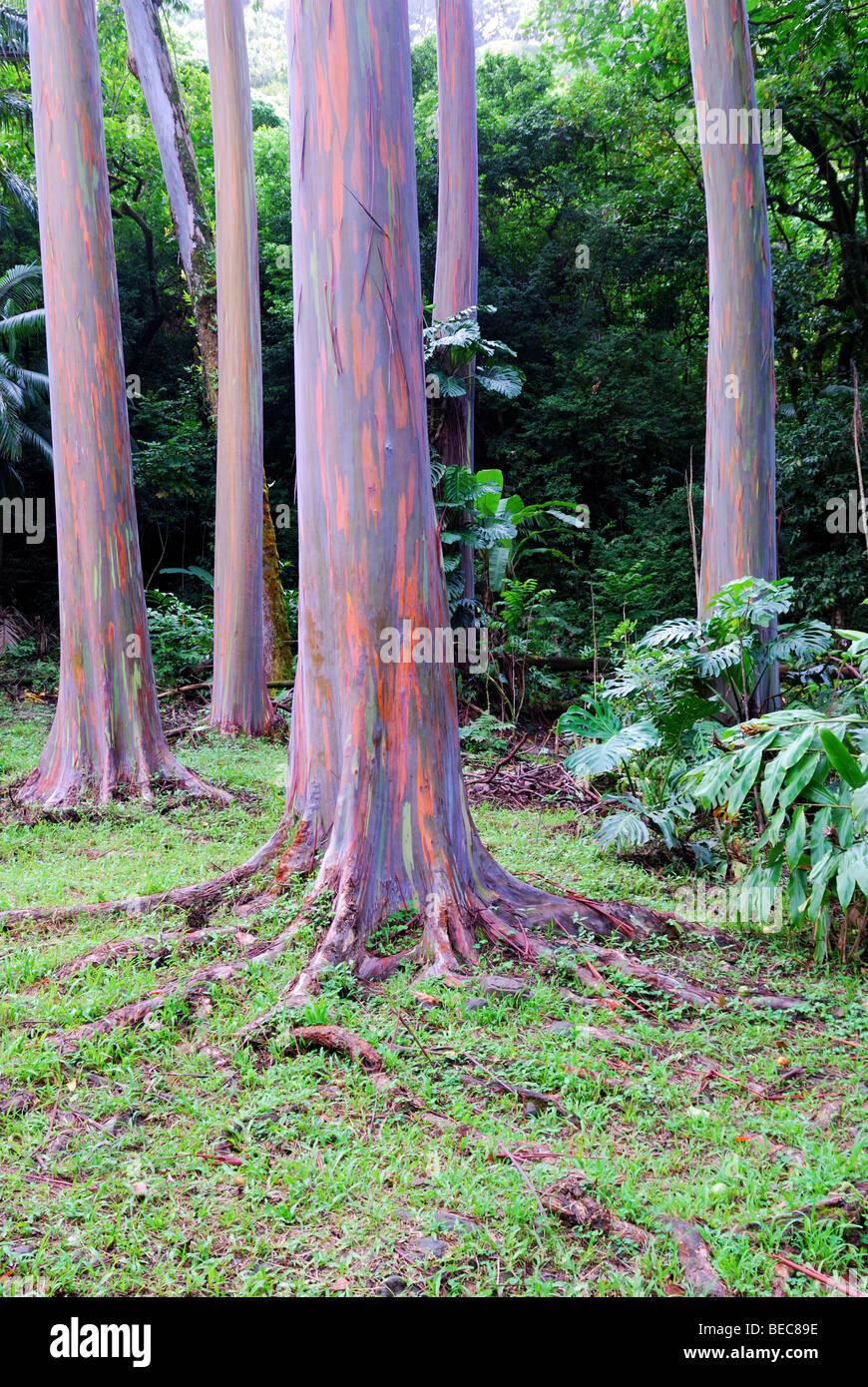 Colorful Eucalyptus tree trunks in Keahua arboretum, Maui, Hawaii - Stock Image