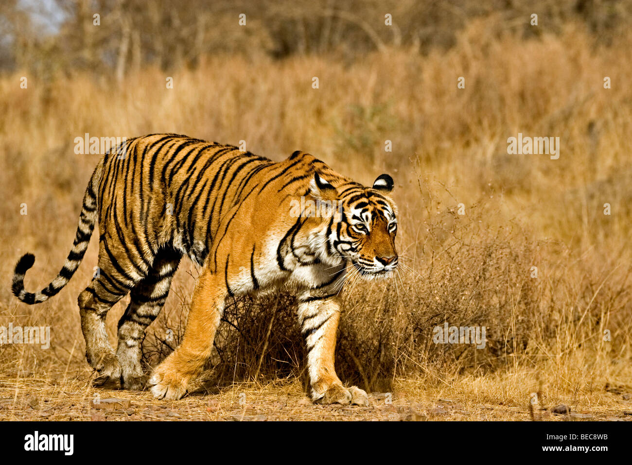 Tiger moving in Ranthambore tiger reserve - Stock Image