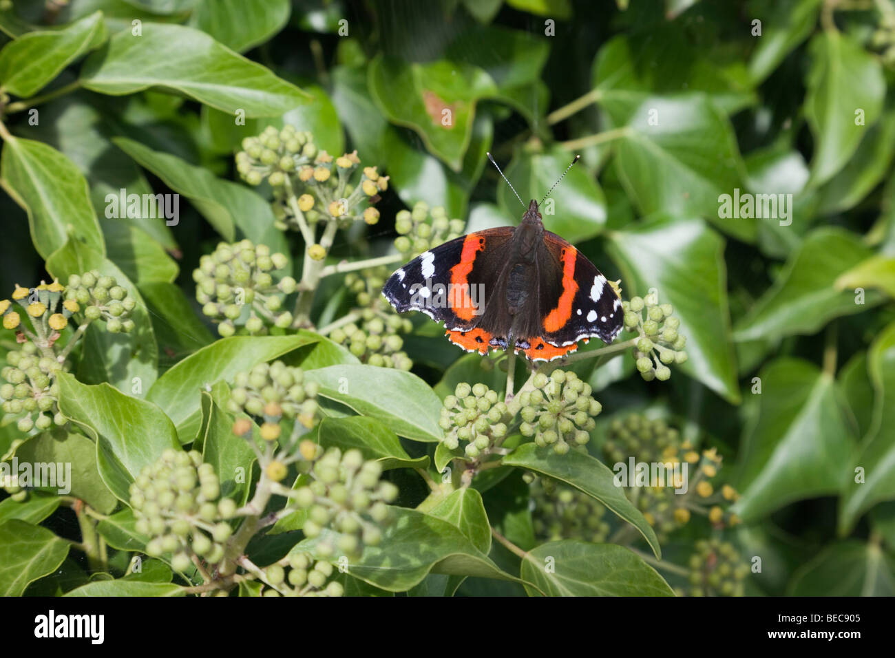 British nature a Red Admiral butterfly (Vanessa atalanta) on ivy flowers (Hedera helix) in early autumn. Wales, UK, Britain Stock Photo