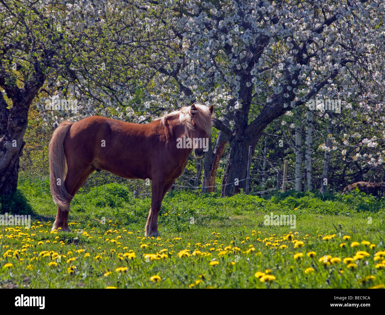 Icelandic horse on a field with Dandelion flowers, under blossoming trees, in Sweden. - Stock Image