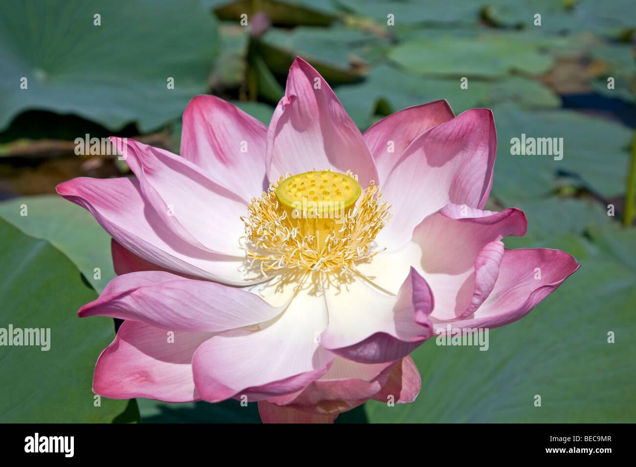 Nelumbium speciosum stock photos nelumbium speciosum stock images lotus flower dal lake srinagar kashmir india stock image izmirmasajfo