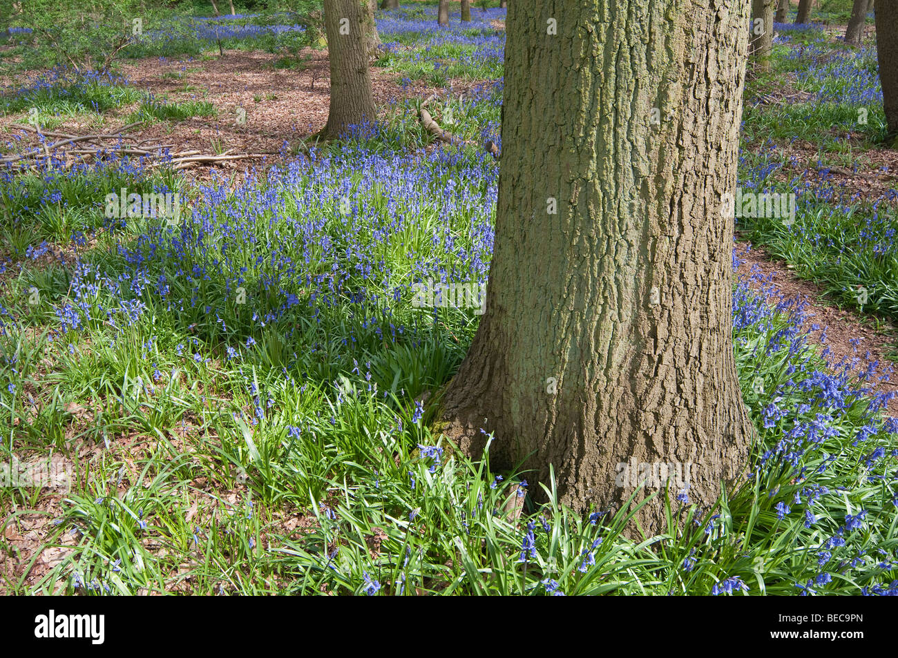 Footpath and Bluebells around the base of an Oak tree in an English Wood. Stock Photo