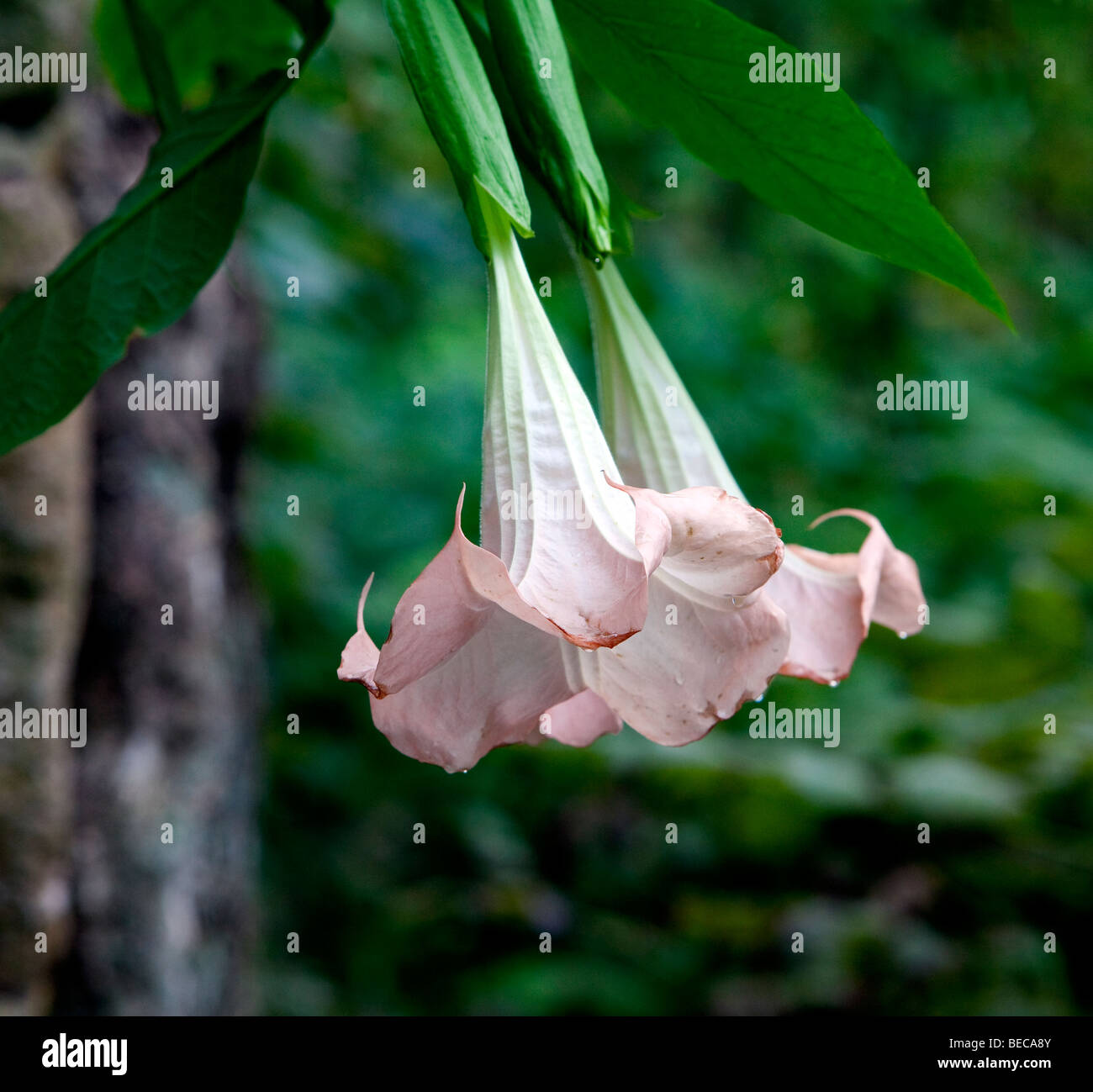 Two Pink Angels Trumpet Flowers Hanging Side By Side Brugmansia