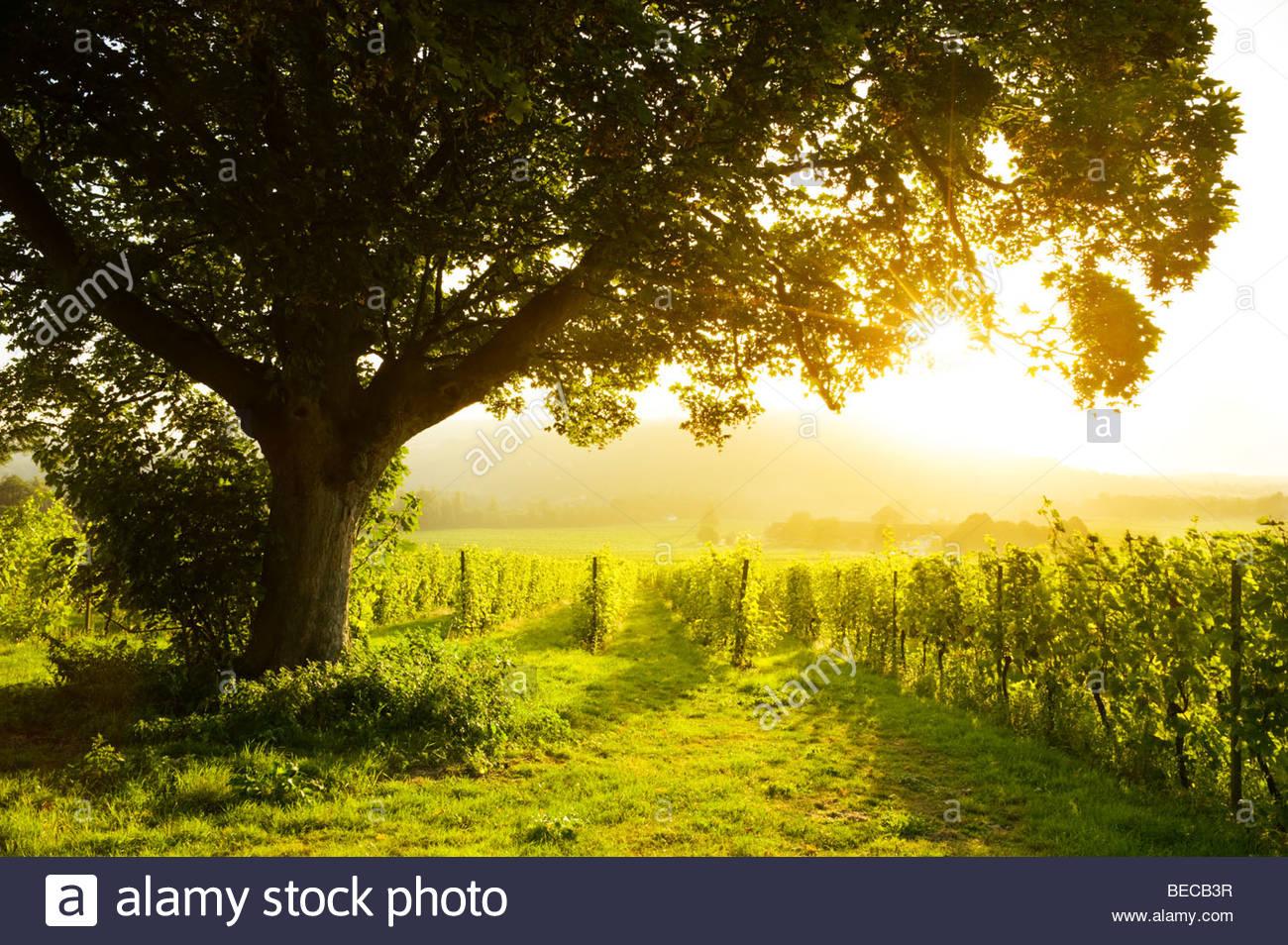 Sunrise at Denbies Vineyard & Wine Estate, near Dorking, Surrey, England Stock Photo