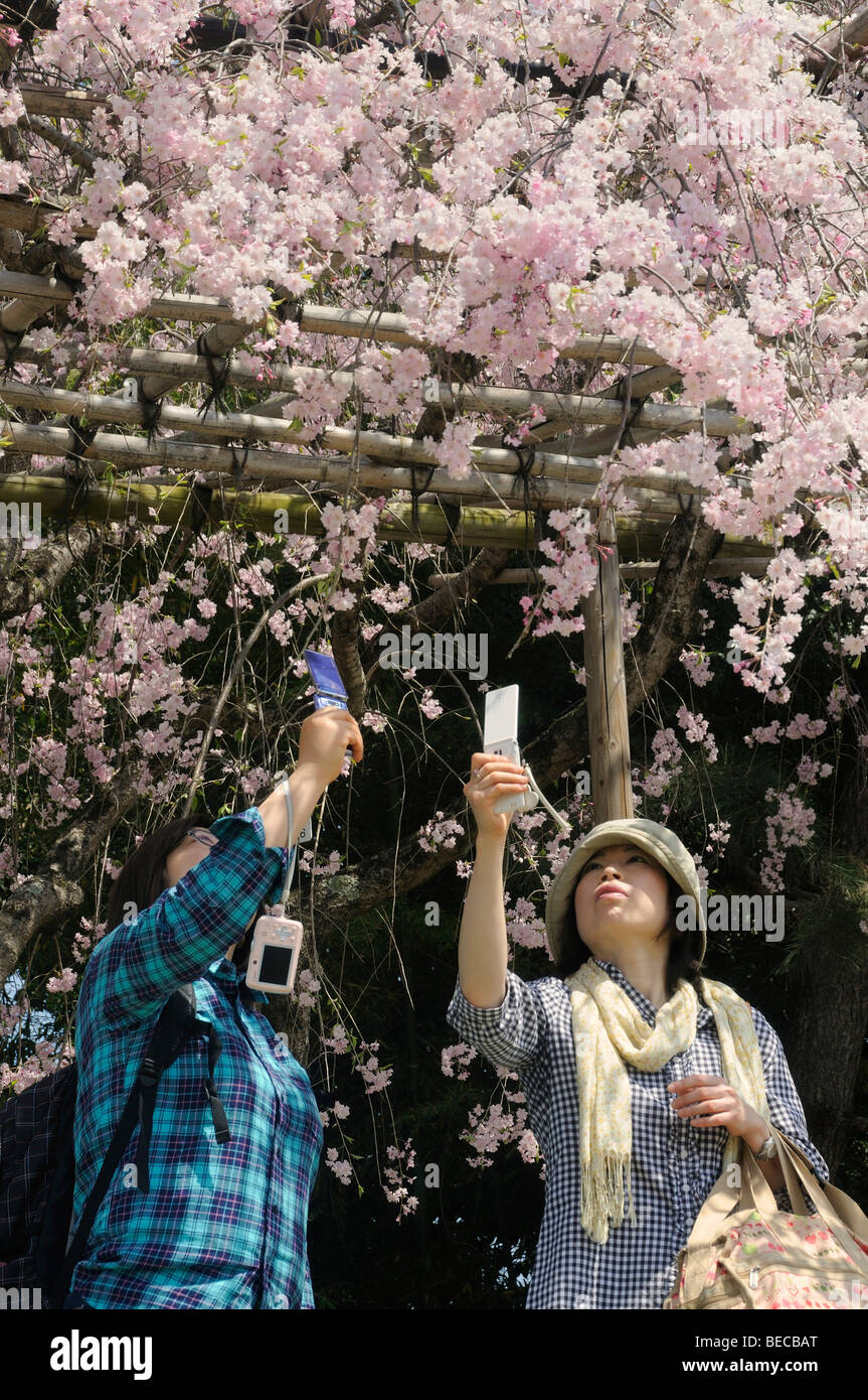 Japanese woman taking photos of cherry flowers with their cell phones, at the Kamo River, Kyoto, Japan, East Asia, - Stock Image