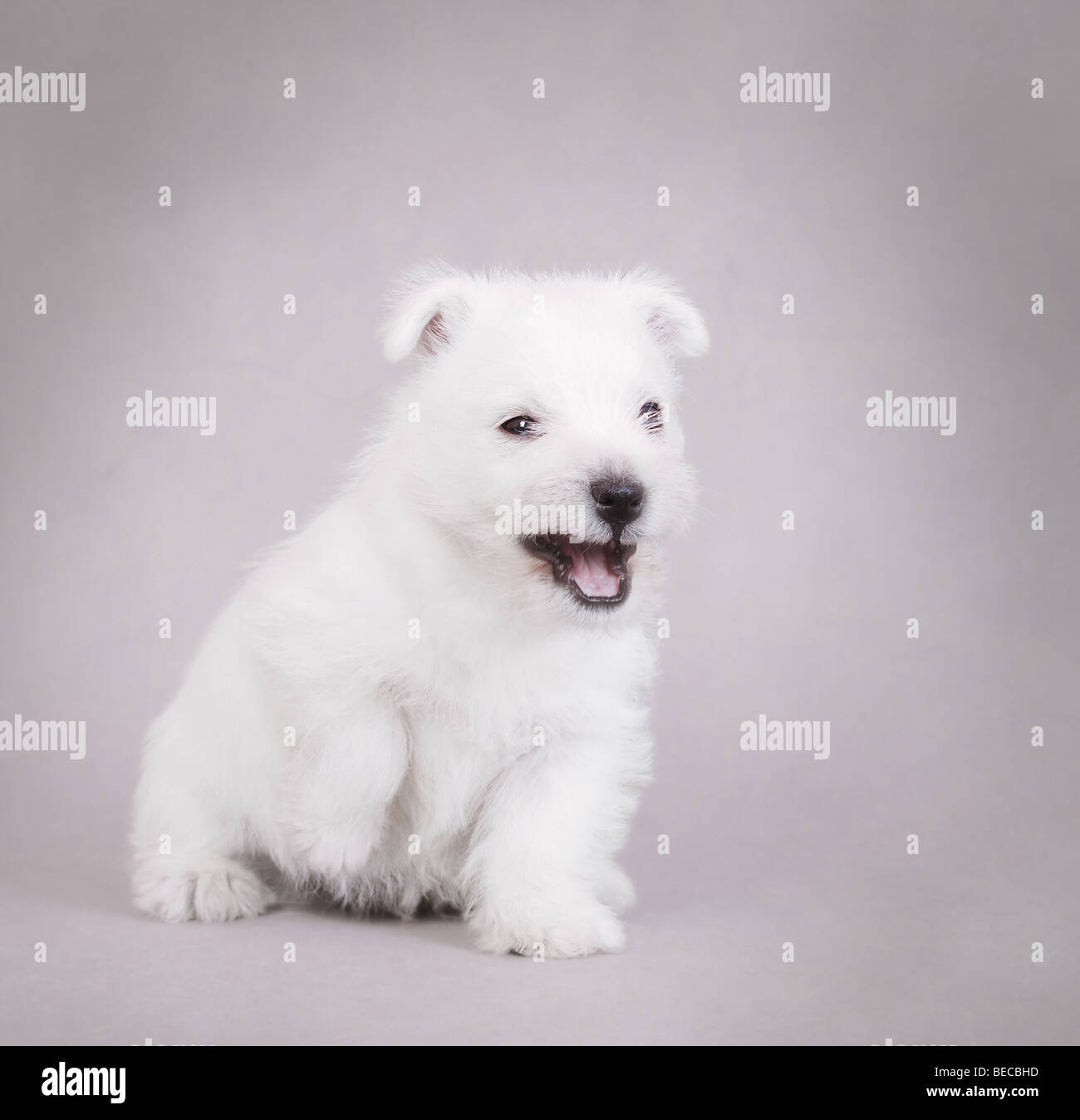 Angry West Highland White Terrier puppy portrait - Stock Image
