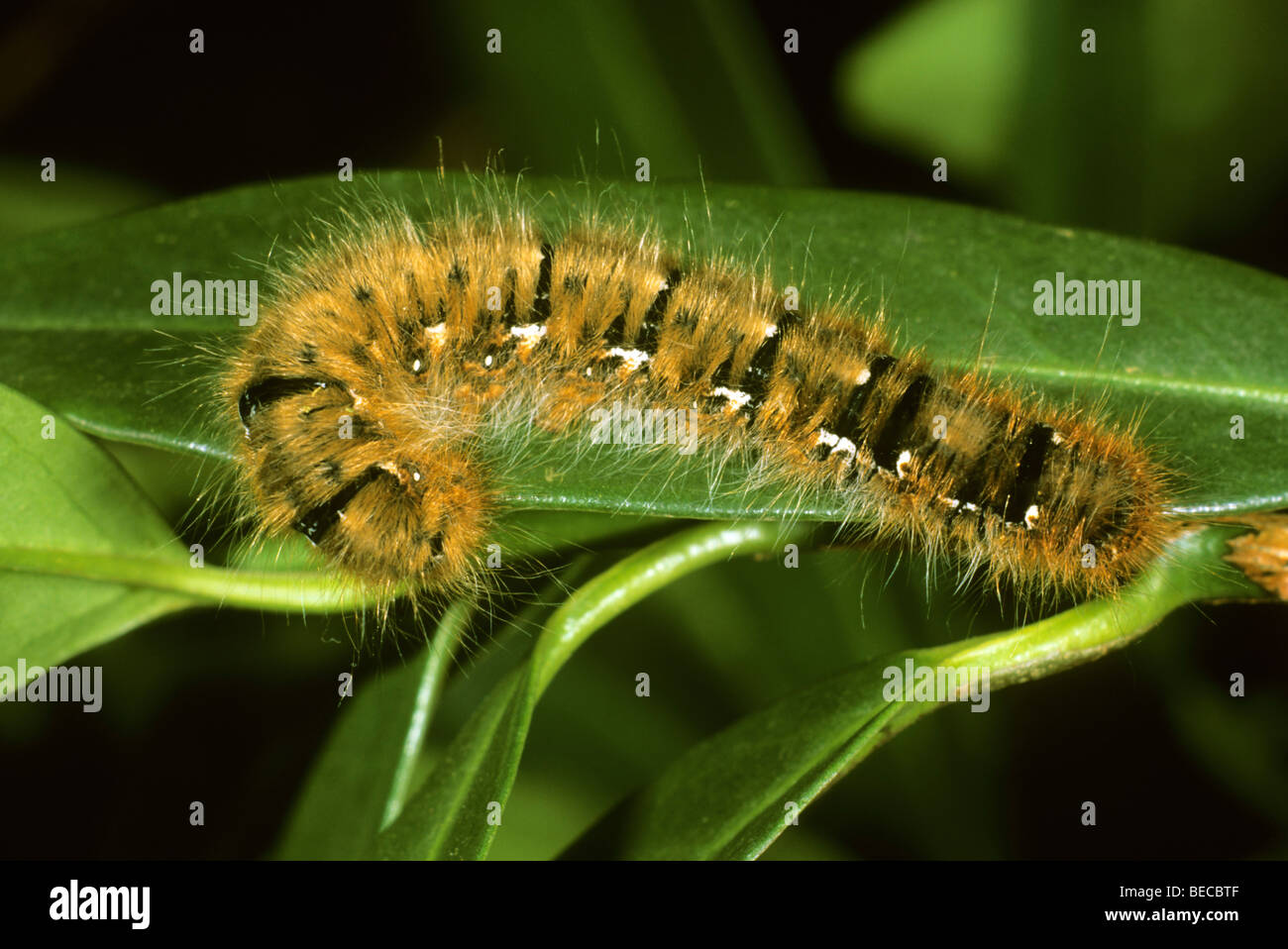 Oak Eggar (Lasiocampa quercus), caterpillar - Stock Image
