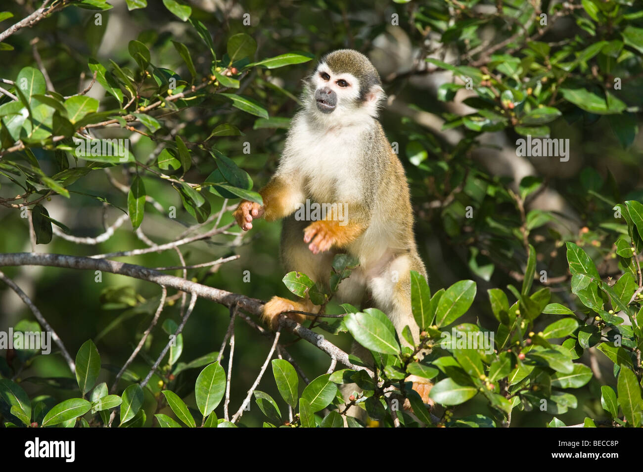 Squirrel monkeys in trees - photo#51