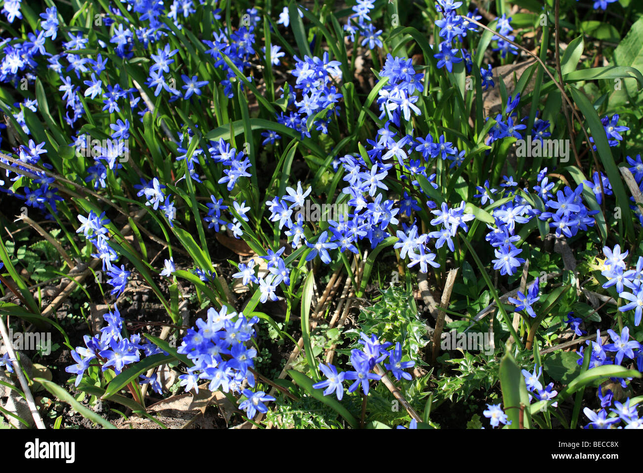 The Vivid Blue Flowers Of Chionodoxa Luciliae Or Glory Of The Snow