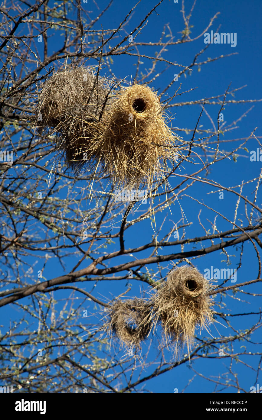 Nests of White-browed Sparrow Weaver, Windhoek, Namibia - Stock Image