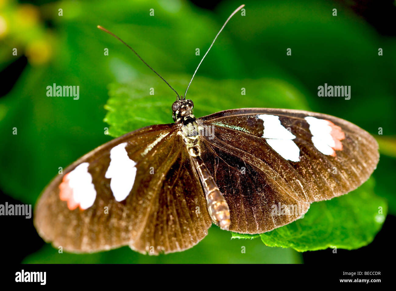 Longwing butterfly (Heliconius) - Stock Image
