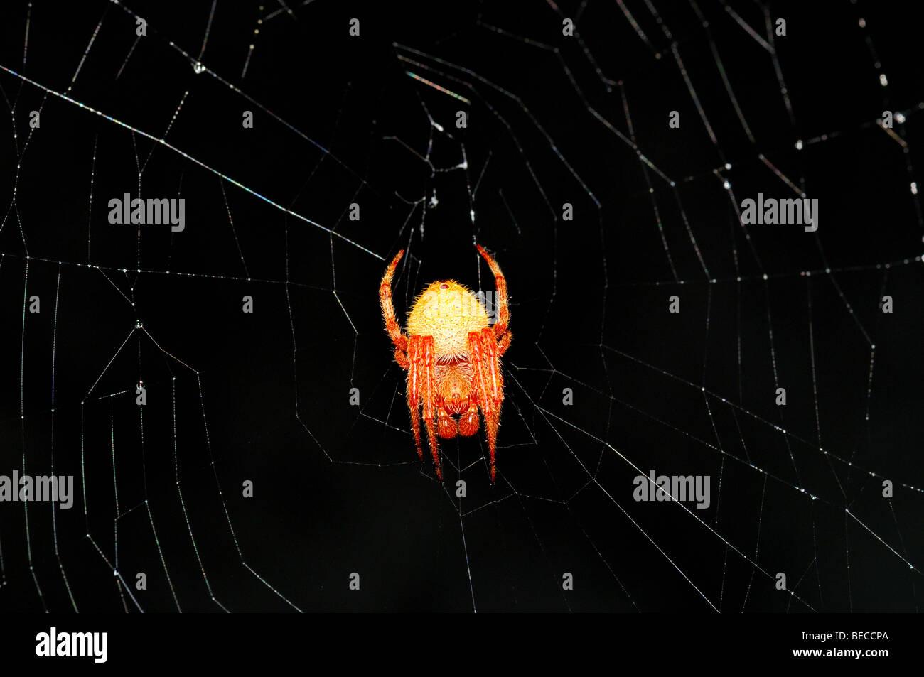 Red orbweaver spider. - Stock Image