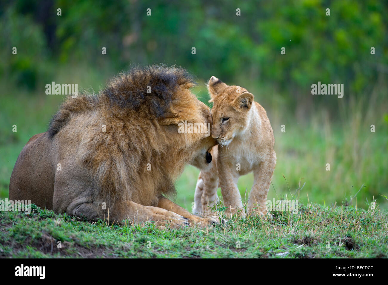 Lion (Panthera leo) cleaning cub, Masai Mara National Reserve, Kenya, East Africa - Stock Image