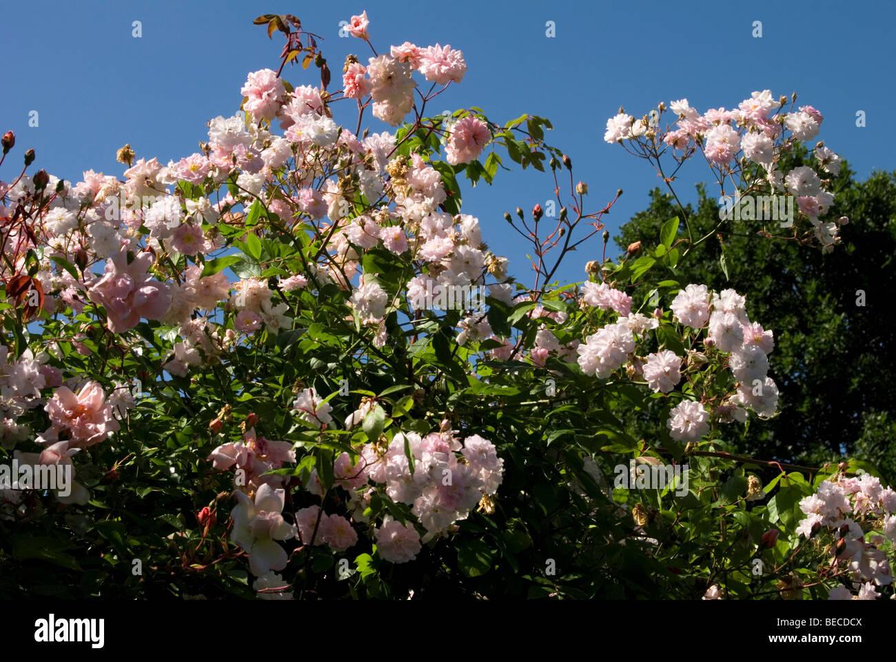 Rosa 'Paul's Himalayan Musk Rambler' - Stock Image