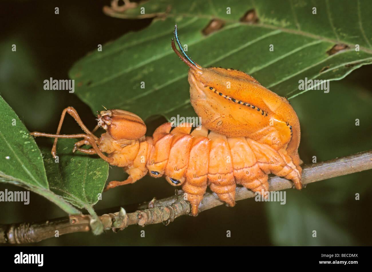 Lobster Moth (Stauropus fagi), caterpillar on twig of a beech tree - Stock Image