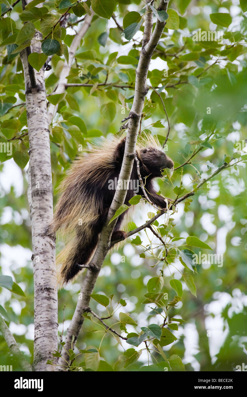 North American porcupine (Erethizon dorsatum) climbing in a tree, Alaska, USA, North America - Stock Image