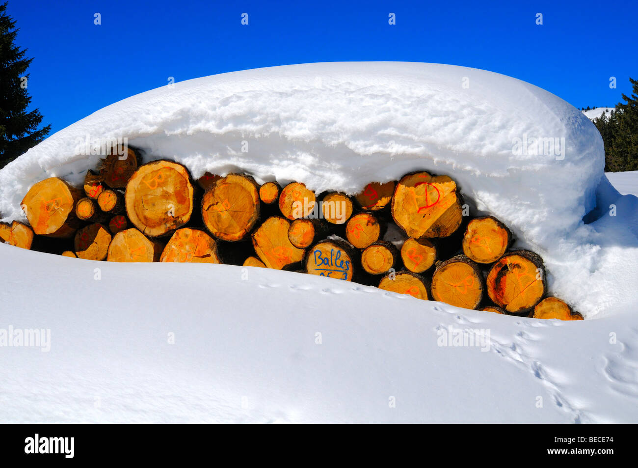 Forestry, cut logs under a thick snow cover, Jura, Switzerland - Stock Image