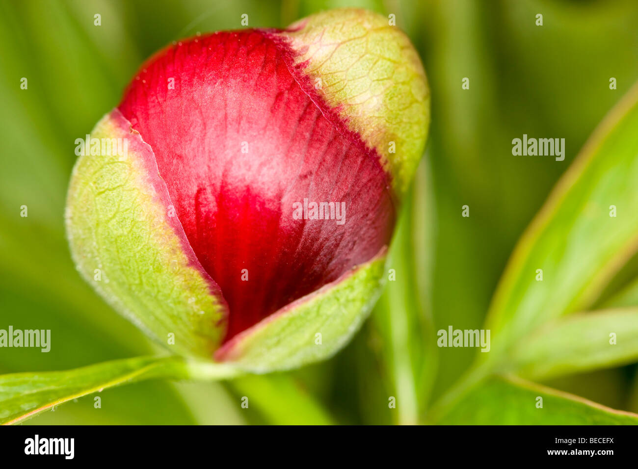 Common peony flower (Paeonia officinalis) Stock Photo