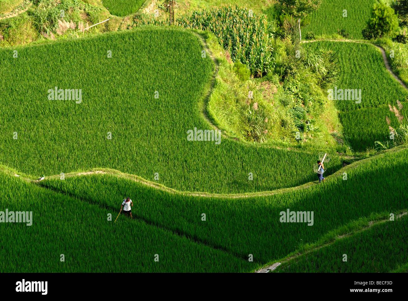 Kinsman of the Miao Minority working in the rice terraces of Xijiang, Guizhou, Southern China Stock Photo