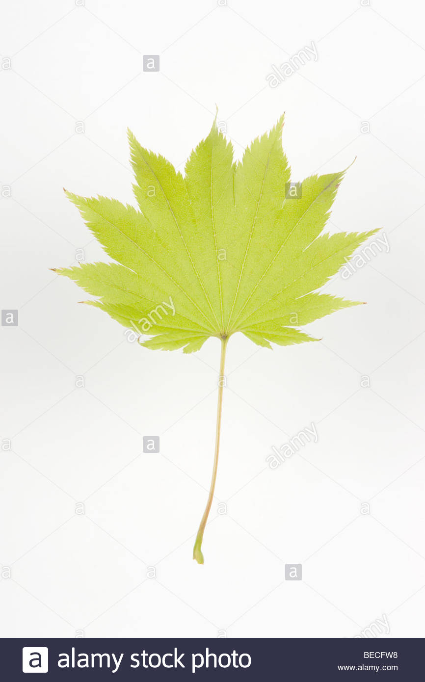 Single Japanese Maple Leaf Acer Shirasawanum Full Moon Maple