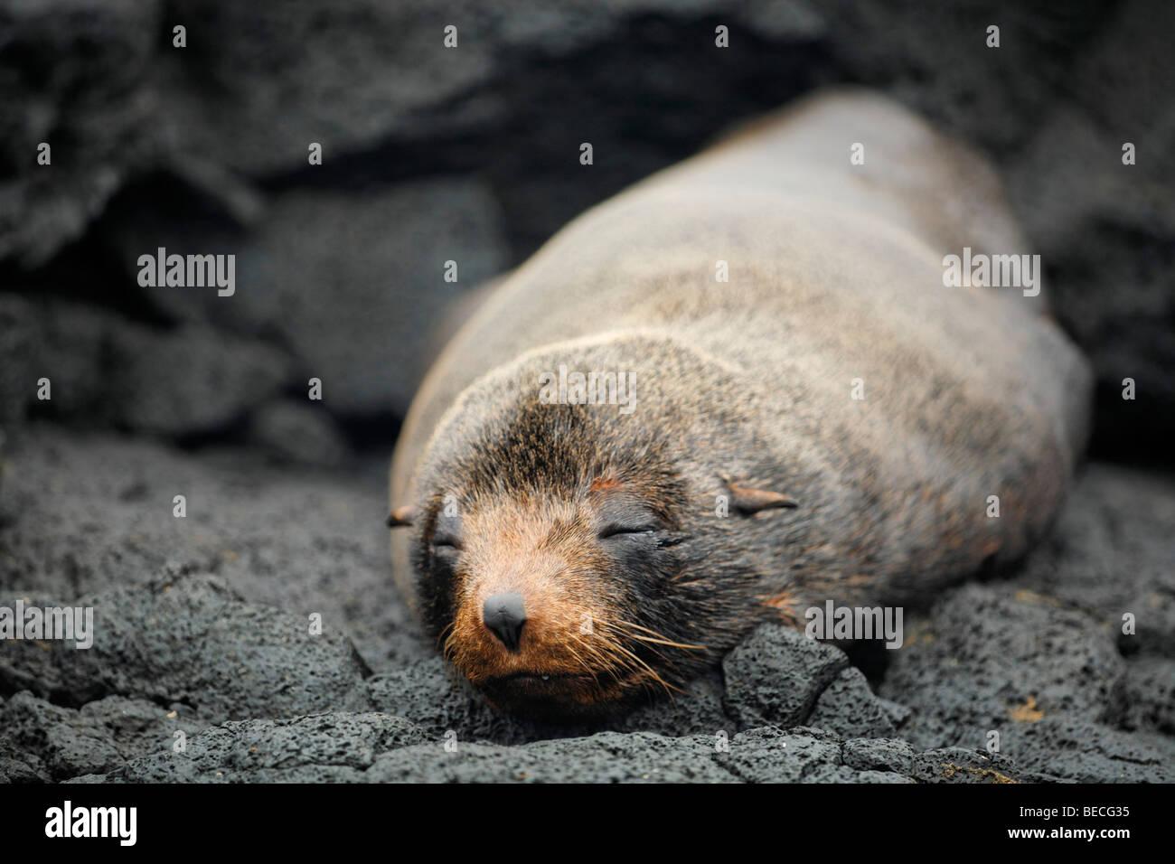 Galapagos Fur Seal (Arctocephalus galapagoensis) on rock, Santiago Island, San Salvador, James Island, Puerto Egas, - Stock Image