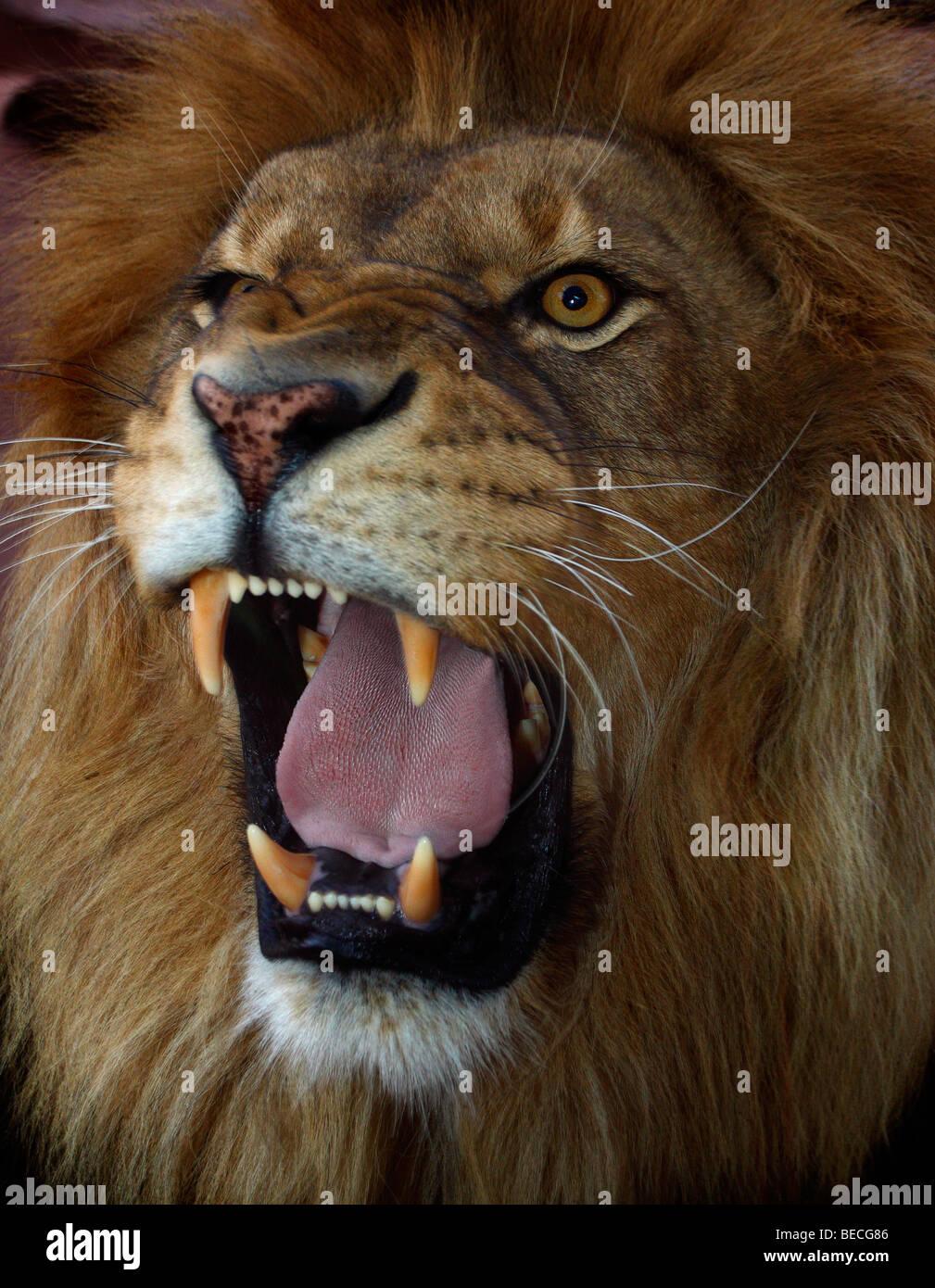 Real Lion Roar