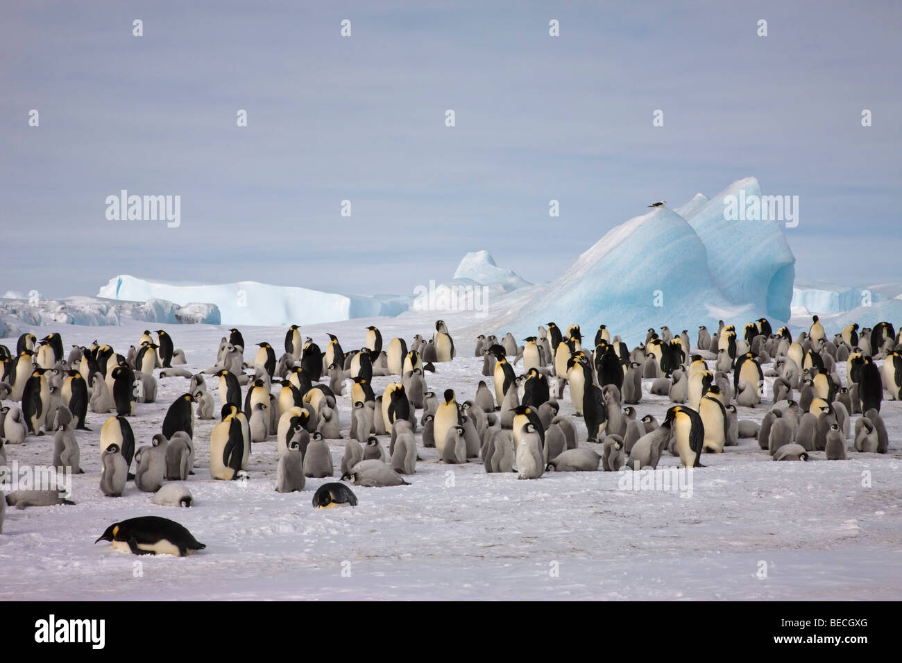 Big breeding colony of Emperor penguins, big rookery with adults and babies on snow ice, blue iceberg background - Stock Image