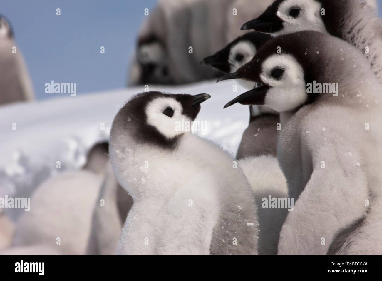 2 cute fluffy funny baby Emperor Penguins talking close-up, snowy background, blue sky Antarctica - Stock Image