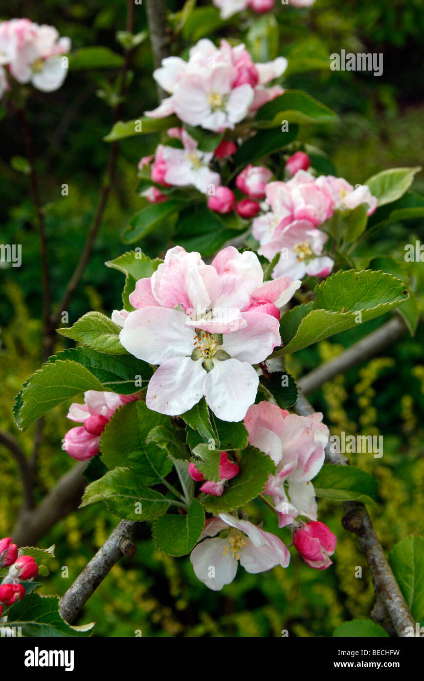 Malus domestica 'Rosemary Russet' AGM blossom - Stock Image