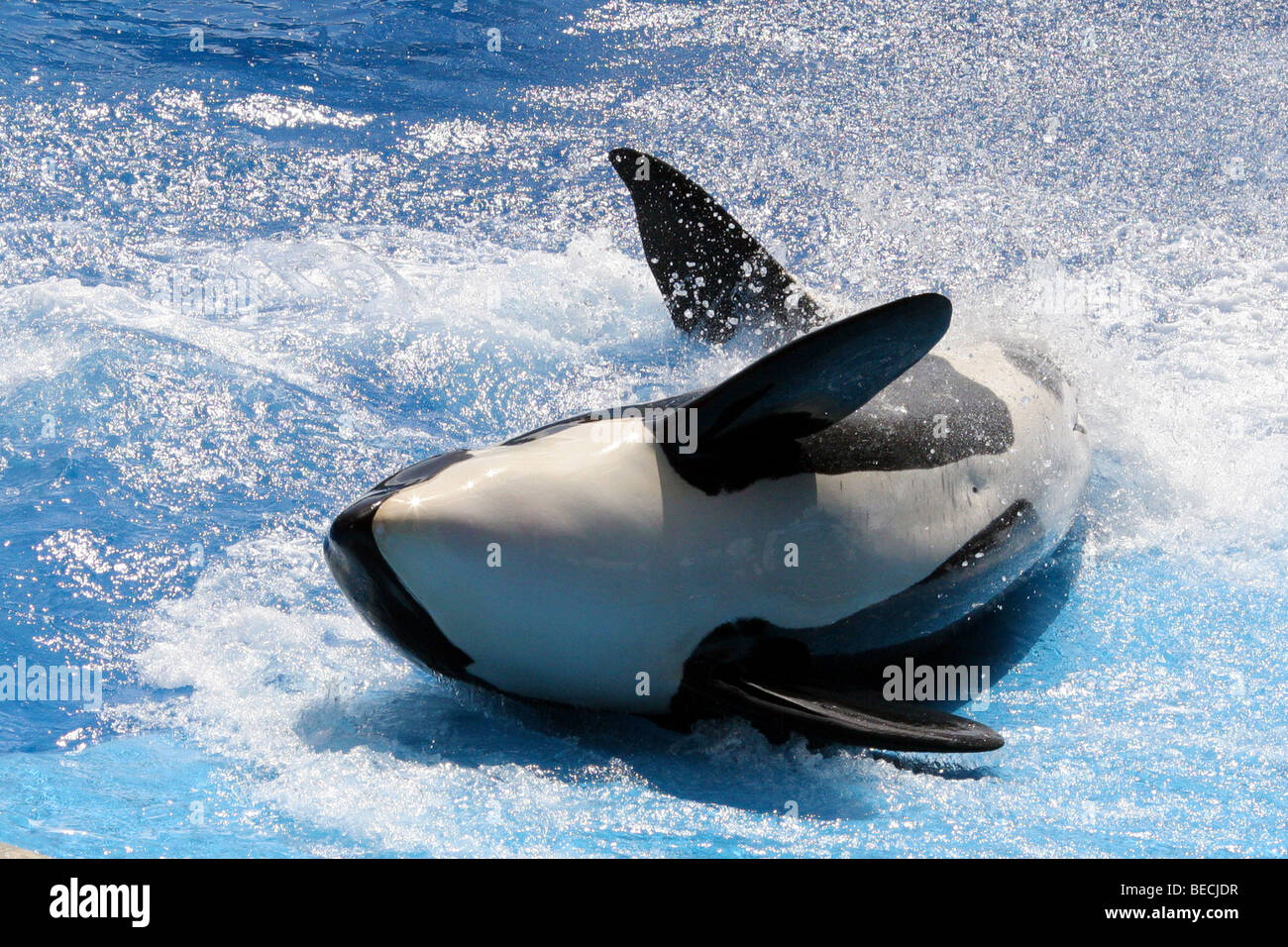 orca whale - Stock Image